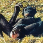 [Image: bonobo-150x150.jpg]