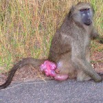 baboon sexual swelling