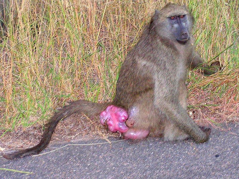 baboon sexual swelling