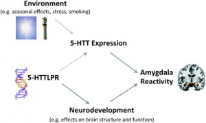 Association between 5-HTTLPR, 5-HTT availability, & amygdala reactivity