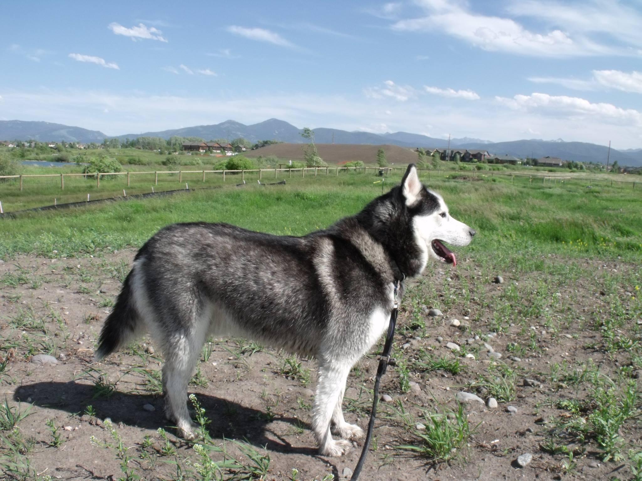 Gallifrey surveying the dog park in Bozeman, MT.